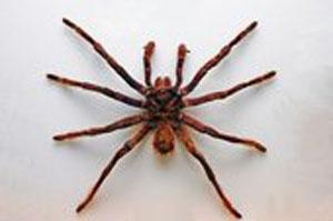 araign chenilles processionnaires et lepisme poissons d 39 argent insectes. Black Bedroom Furniture Sets. Home Design Ideas