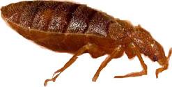 punaise de lit bed bugs
